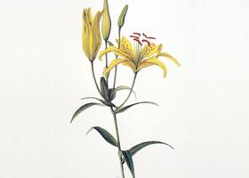 ボタニカルアート(自然史植物画)のイメージ